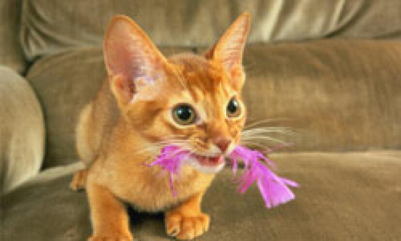 あなたの猫が耳ダニを持っているかどうかをどうやって知るのですか?