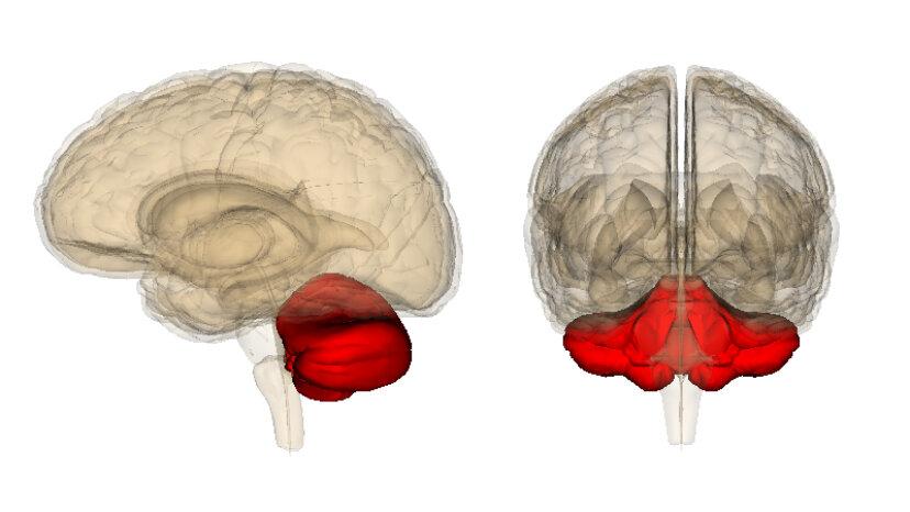 Das Kleinhirn ist das kleine Gehirn des Körpers
