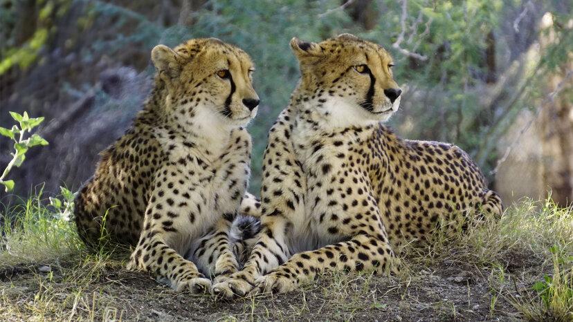 Guepardos: los grandes felinos que pueden pasarlo por completo en la interestatal
