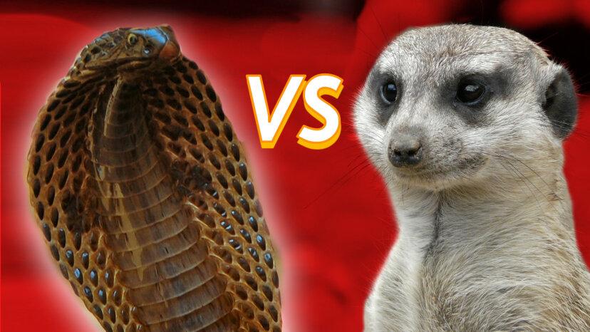 マングースvs.コブラ:恨みの試合で誰が勝つでしょうか?
