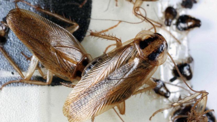 Estamos perdiendo la guerra química contra las cucarachas