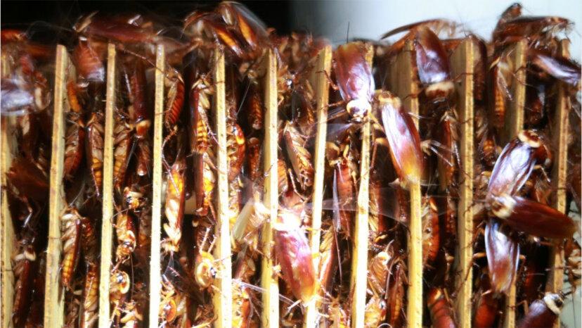 ゴキブリ農場は食べ物のゴミを宝物に変える