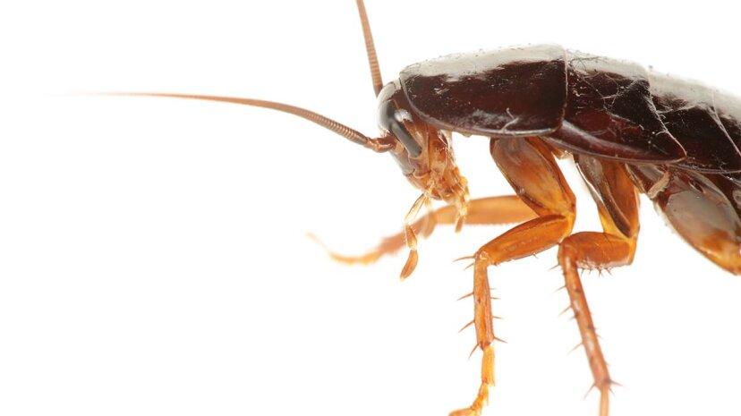 La popular 'poción curativa' china es principalmente cucarachas