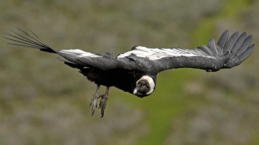 Der Andenkondor: 100 Meilen, 5 Stunden, 0 Flügelklappen