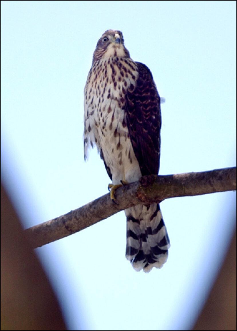 野鳥:クーパーハイタカ