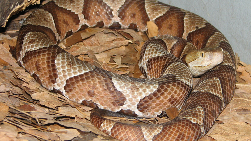 Serpientes de cabeza de cobre: no siempre letales, pero es mejor dejarlas solas