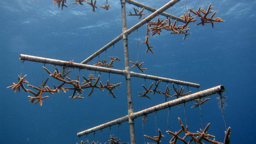 科学者たちは、瀕死のサンゴ礁を救うために急成長するサンゴの方法を開発しています