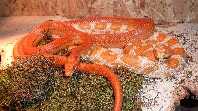 Las serpientes de maíz son mascotas perfectas para los entusiastas de los reptiles