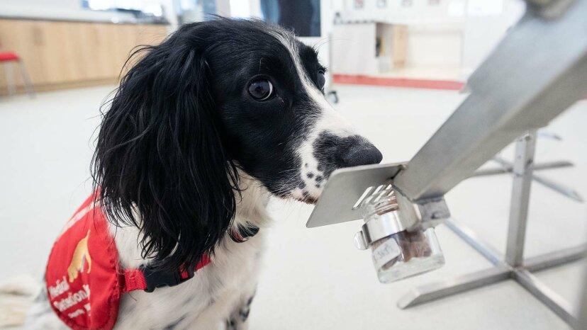 犬は人間のコロナウイルスを嗅ぎ分けるように訓練されています