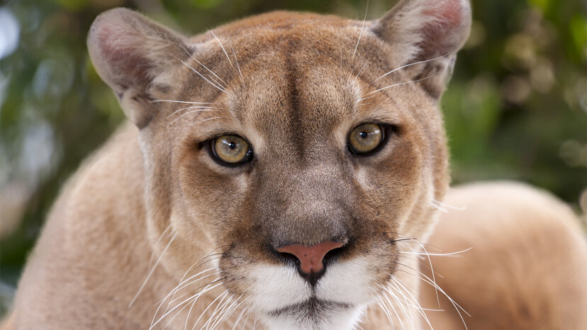 ¿Cuál es la diferencia entre un león de montaña y un puma?