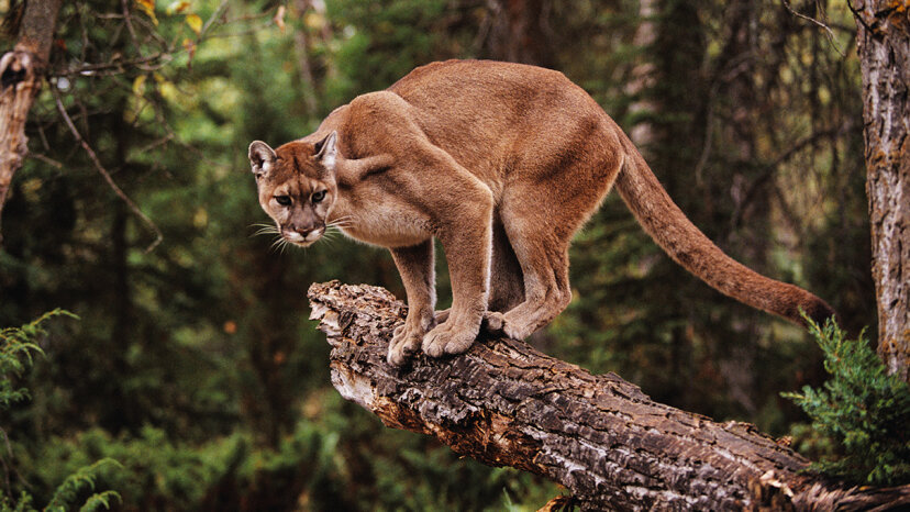 Scientists studied how fear of humans affects the behavior of ecosystems' top predators, like this cougar (Puma concolor). John Conrad/Getty Images