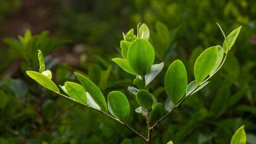 coca plant