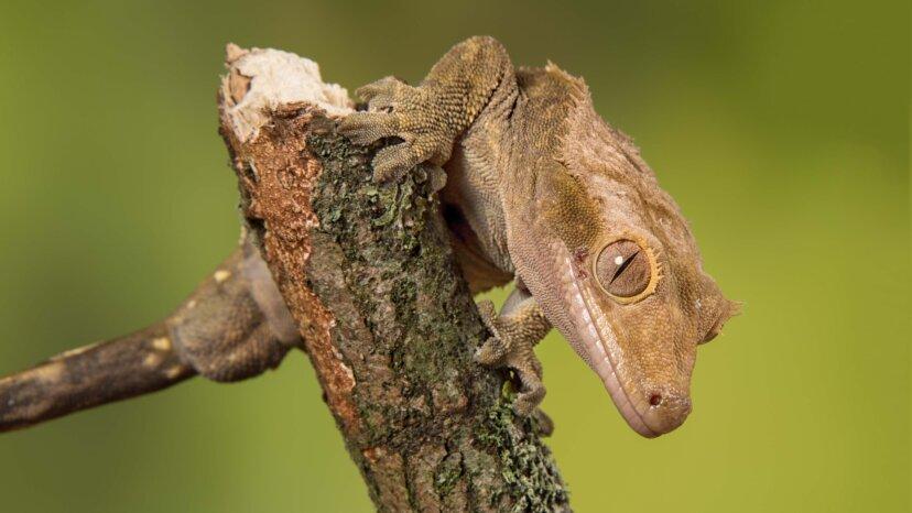 Der niedliche Gecko mit Haube, der einst für ausgestorben gehalten wurde, wird jetzt von Tausenden gezüchtet