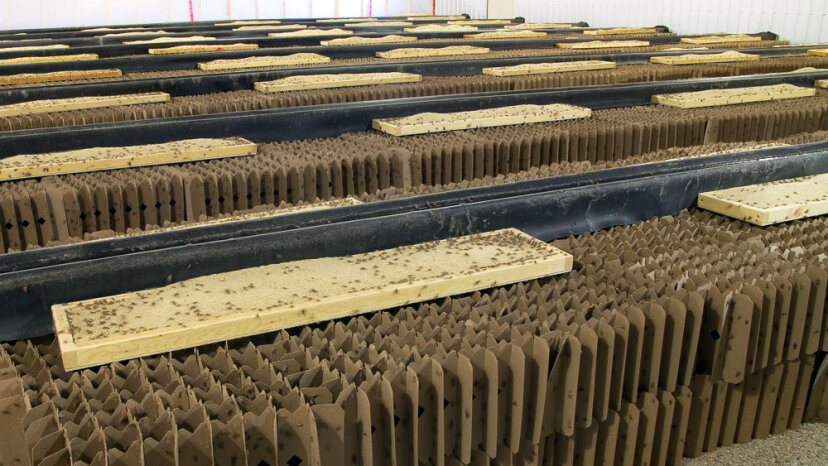 """Crickets spend most of their time in egg cartons """"high rises"""" like these at Entemo Farms, and eat a diet of organic grain-based feed, and assorted fruits and veggies. Stewart Stick/Fluid Creative"""