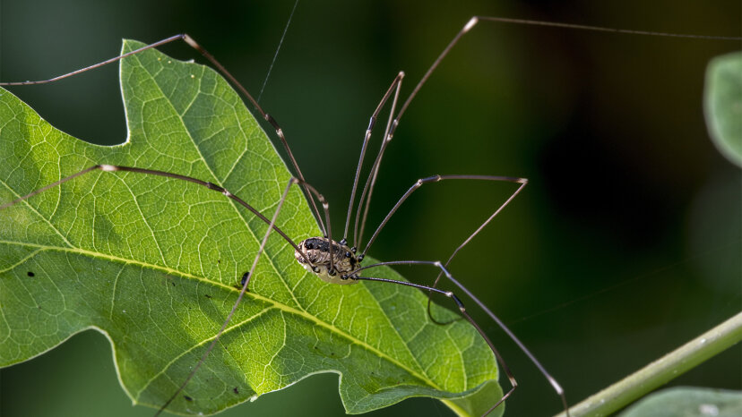 Papa Longlegs sind keine (notwendigen) Spinnen; Also, was sind sie?