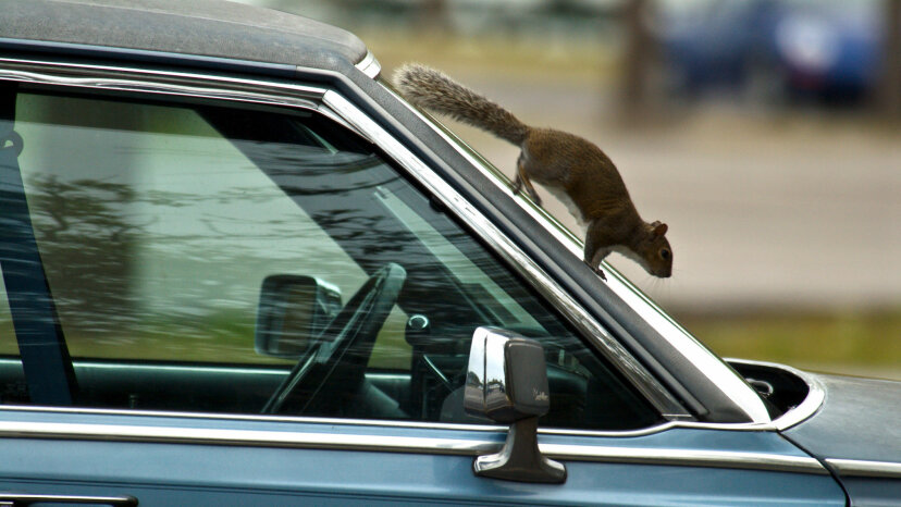 squireel scampering down car