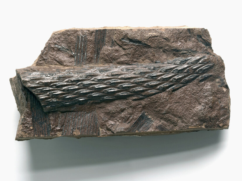 fossilized Lepidodendron
