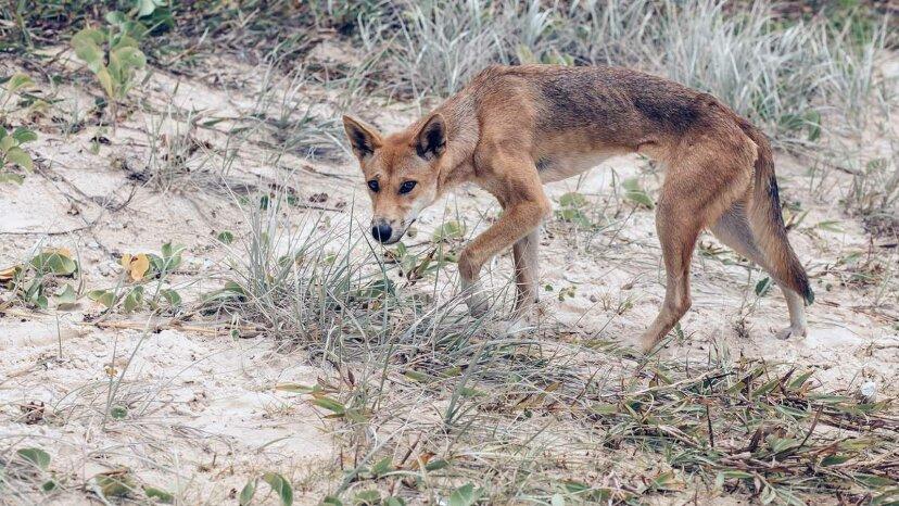 ¿Son peligrosos los dingos (y realmente uno se comió a un bebé)?