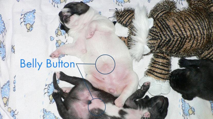 puppy bellies