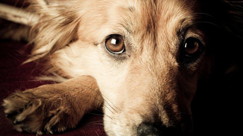 あなたの犬はあなたが動揺しているときに本当に助けたいと思っています