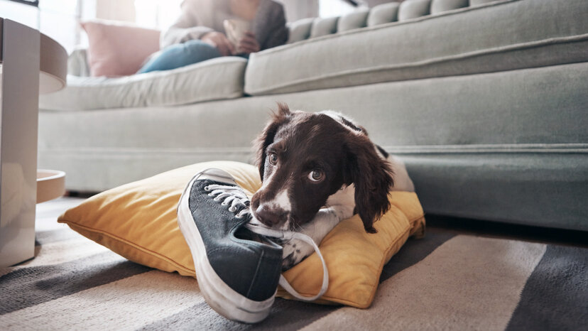 puppy chewing shoe