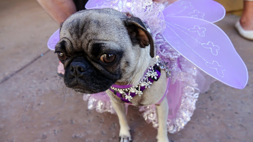 dog dressed in butterfly costume
