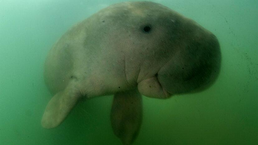 Was ist der Unterschied zwischen einem Dugong und einem Seekuh?