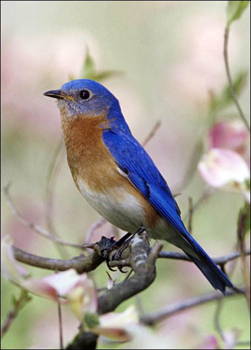 ルリツグミ:野鳥