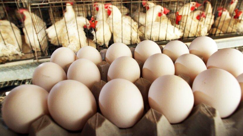 鶏卵が受精しているかどうかはどうやってわかりますか?