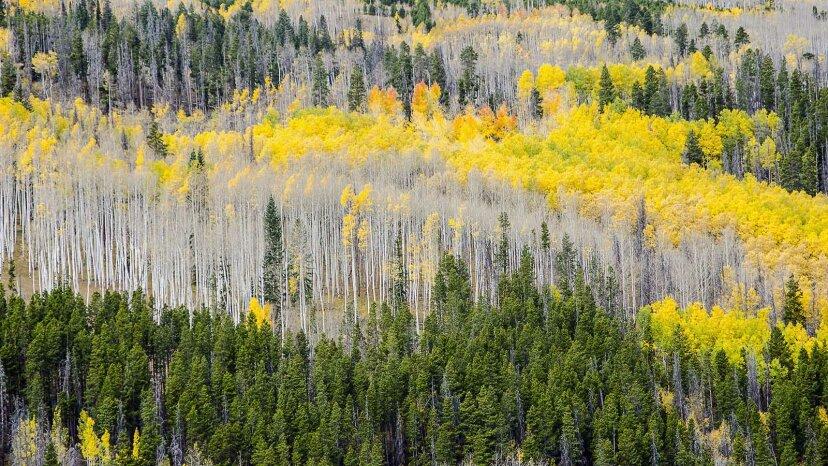 Por qué los árboles de hoja perenne no arrojan sus hojas en forma de aguja