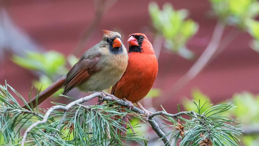なぜ雌の鳥が歌うのかを知る必要があります