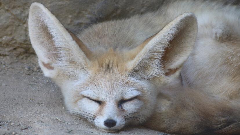 小さなフェネックはすべての耳です