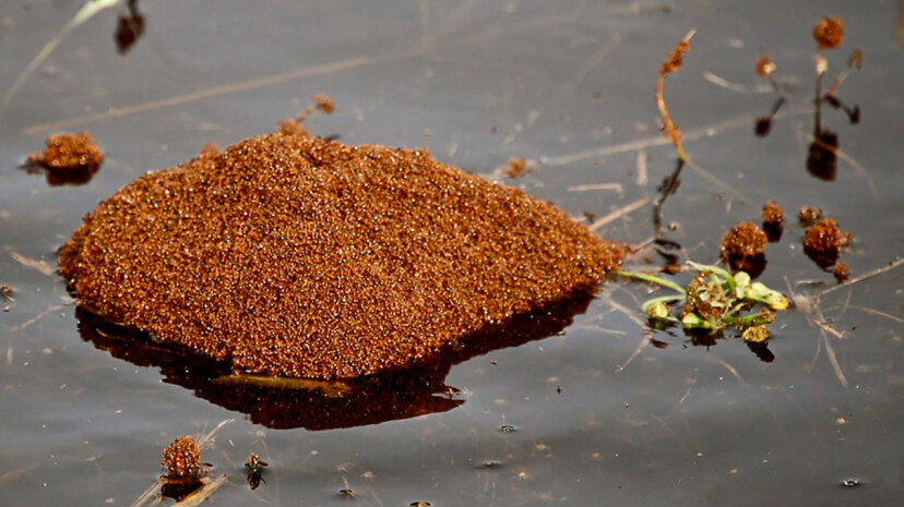 Entire colonies of fire ants can survive flood conditions by forming a living raft. Doris Ratchford/Flickr/CC BY 2.0