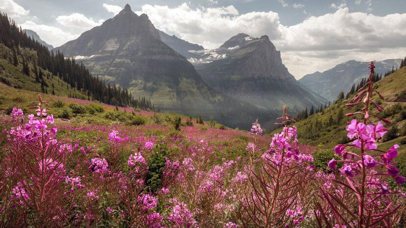 Fireweed: El pionero rosa