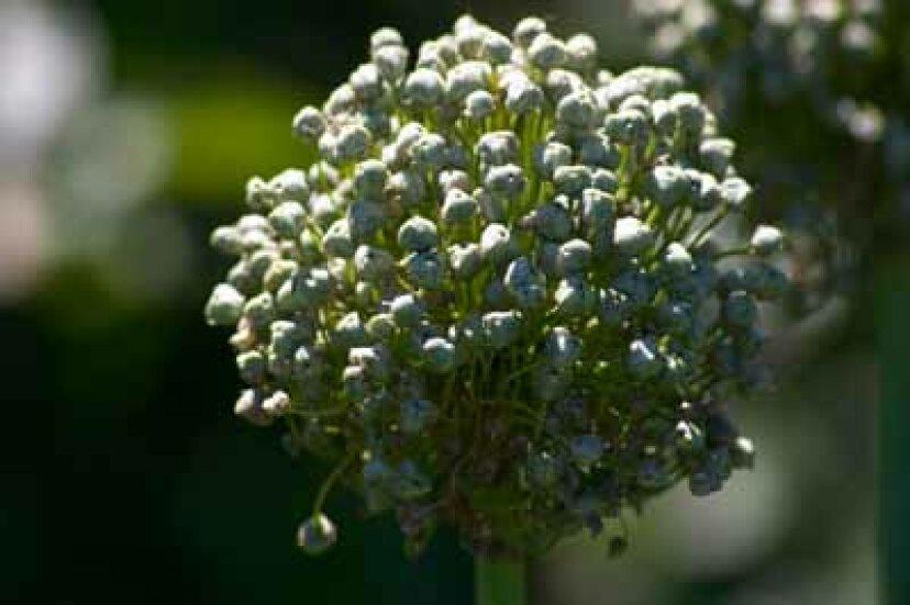 開花タマネギ:庭の球根のプロファイル