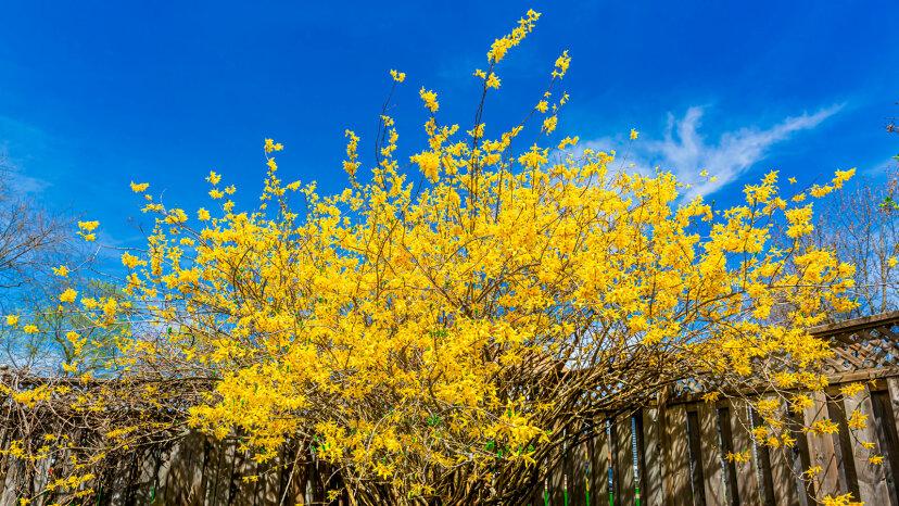 レンギョウの世話、春の燃えるような黄色い兆候