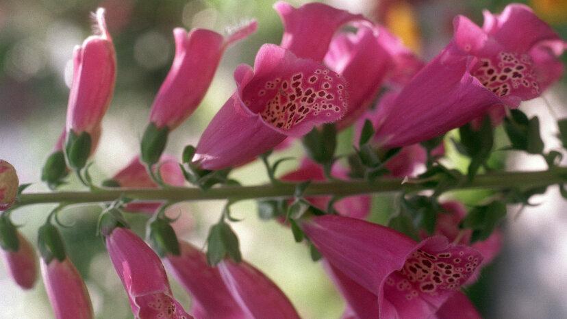 foxglove closeup