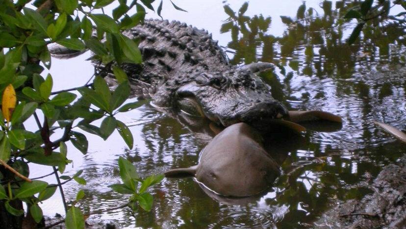 gator eating shark