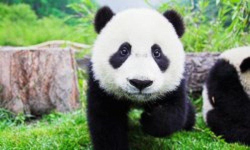 ジャイアントパンダのクマの写真:写真:クマ!