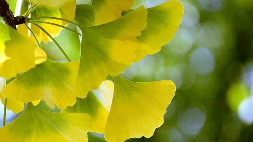 イチョウの葉は気候変動の追跡に役立ちます