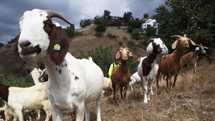 Vincent van Goat und seine Freunde helfen, westliche Waldbrände zu besiegen