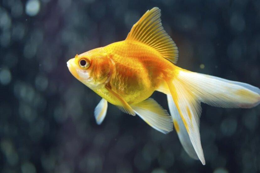 金魚はどれくらい覚えていますか?