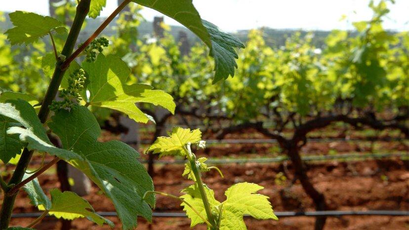 ワインメーカーはブドウの廃棄物で何をしますか?