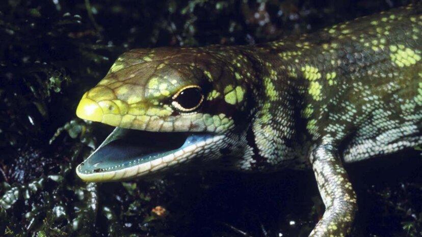 lizard, green