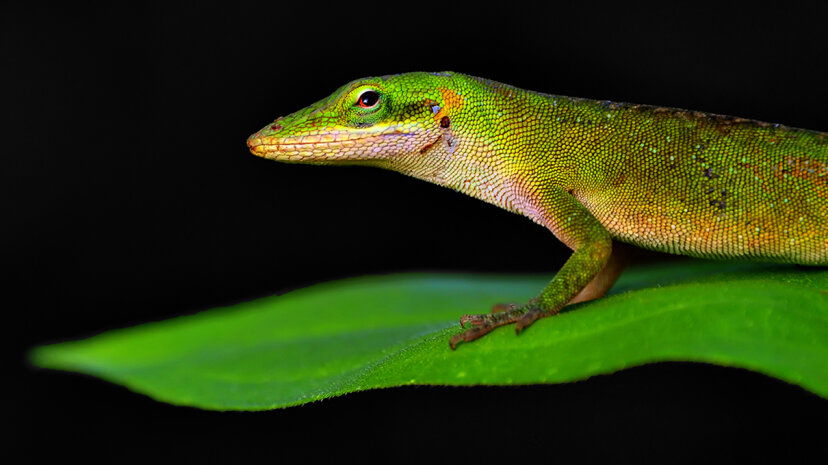 A green anole lizard (Anolis carolinensis) stands on a green leaf in the early morning sun. Jeff R Clow/Getty Images