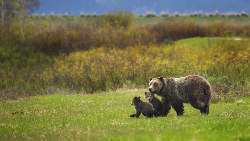 A bear identified as Grizzly 610 walks through Grand Teton National Park, Wyoming, with her two cubs. Chase Dekker Wild-Life Images/Getty Images
