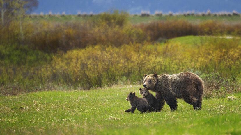 Los osos grizzly de Yellowstone pierden las protecciones de especies en peligro de extinción