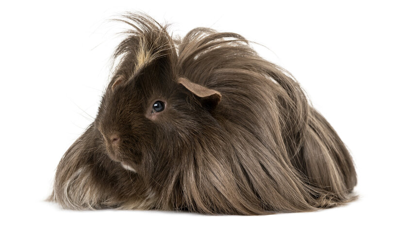long-haired Texel guinea pig