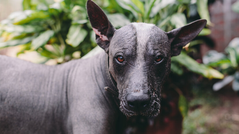 Xoloitzcuintli: メキシコの毛のない犬、地下世界への古代のガイド