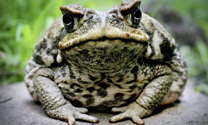 本当に幻覚剤のカエルはいますか?